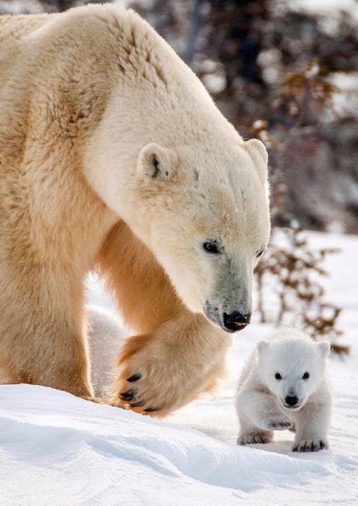 Precious polar bear cub with mom