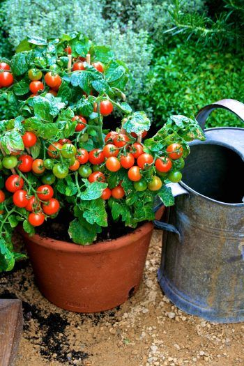 10 Things to Know Before You Plant Tomatoes| Planting Tomatoes Tomato Growing Tips and & 459 best tomatoes images on Pinterest | Plants Vegetable garden ...