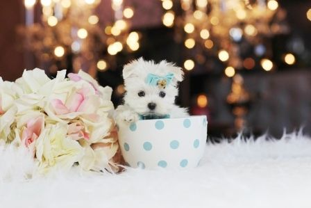 ♕ SUPER Pocketbook Maltese Martin For Sale! ✯ ✰ ★2 POUNDS WHEN FULL GROWN! Call 954-353-7864 and Visit www.teacuppuppiesstore.com #maltese #toy #teacup #micro #pocketbook #teacuppuppies #teacuppuppiesstore #tiny #teacuppuppiesforsale #teacupmaltese #small #little #florida #miami #fortlauderdale #bocaraton #westpalmbeach #southflorida #soflo #miamibeach #cute #adorable #puppy #puppyforsale #puppiesforsale #puppylove #love #dog