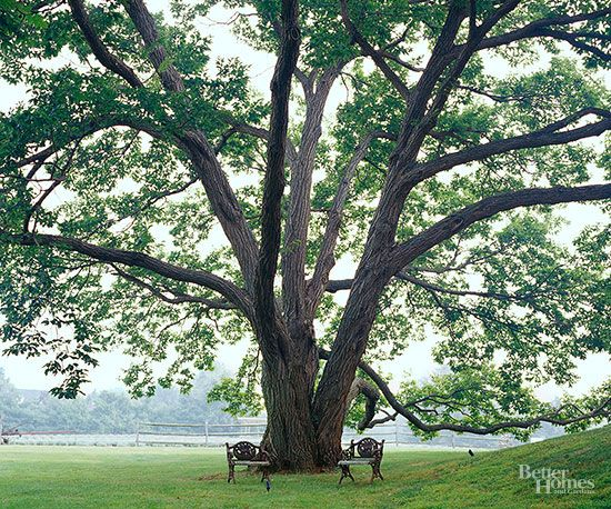 The best shade trees for your yard suits the oaks and - Arboles para jardin ...
