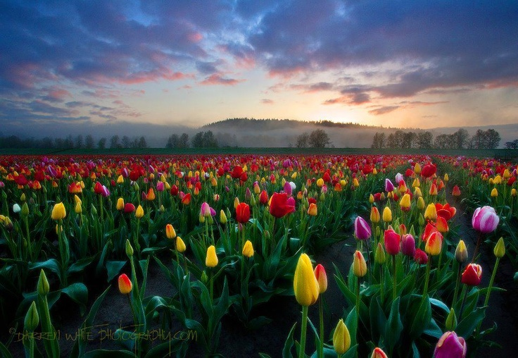 """""""Spring Glow""""- At the Woodland Tulip farm just north of Vancouver, WA-   Photo Credit- Darren White Photography"""