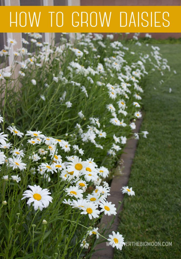 How to grow a thriving Daisy garden