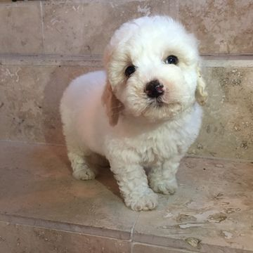 Poodle (Toy) puppy for sale in HOUSTON, TX. ADN-27106 on PuppyFinder.com Gender: Male. Age: 8 Weeks Old