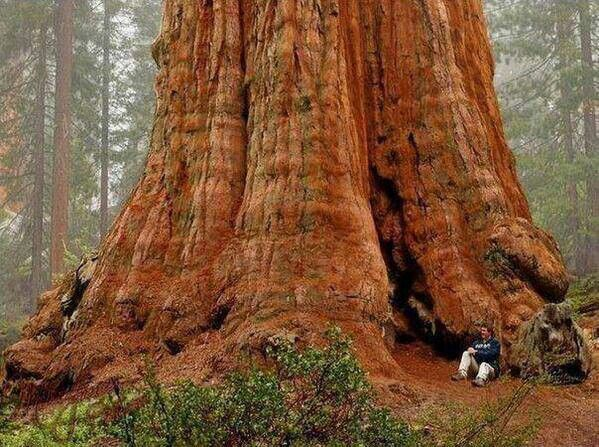 General Sherman....the biggest tree on earth!!!! 2000 years old Sequioa National Park USA