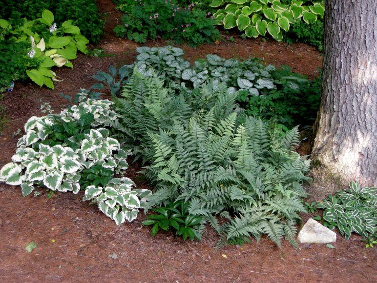 brunnera macrophylla dawsons white and jack frost with athyrium ghost carolyn walker at carolyns shade gardens