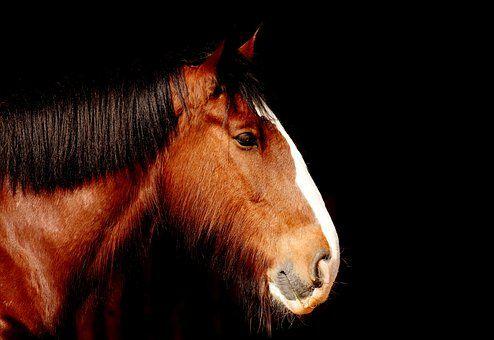 Cavalo Shire, Cavalo, Marrom
