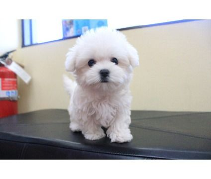 Maltese Puppy is a Male Maltese Puppy