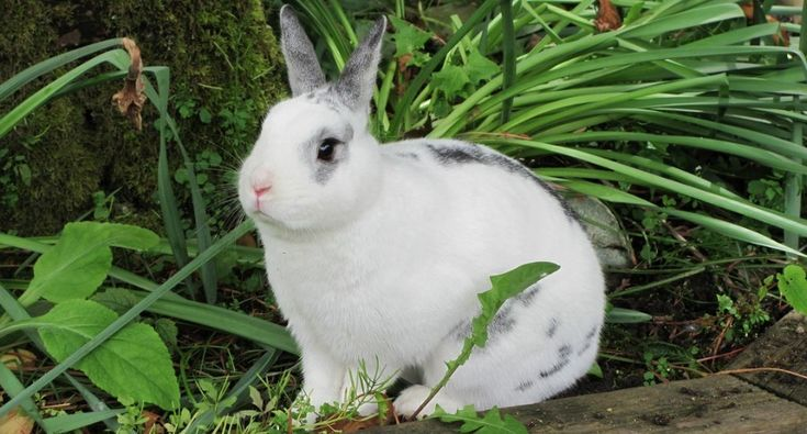 Netherland Dwarf Rabbit: Everything You Need to Know About the Breed http://www.wideopenpets.com/everything-need-know-netherland-dwarf-rabbit/