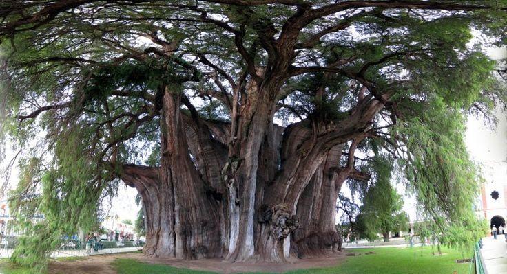 http://ru.esosedi.org/MX/OAX/1000471096/derevo_tule/  Дерево Туле – #Мексика #Оахака (#MX_OAX) Высота дерева – около 42 метров, не самая большая в мире, но все же впечатляет. Диаметр ствола – 14 метров, а «талия» равна 58 метрам. Чтобы обнять такой ствол потребуется не один десяток человек.