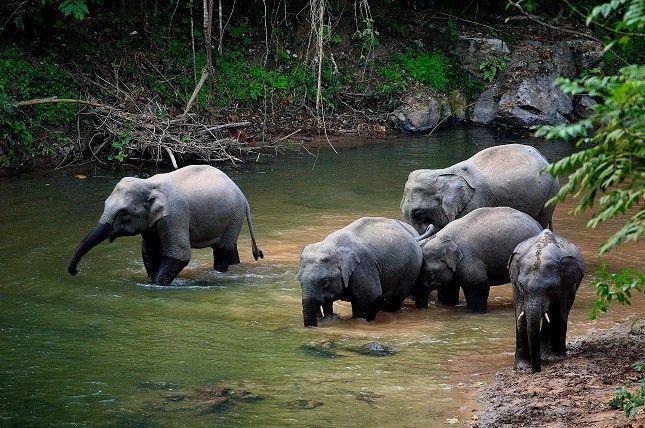 Asian Elephant - Xishuangbanna