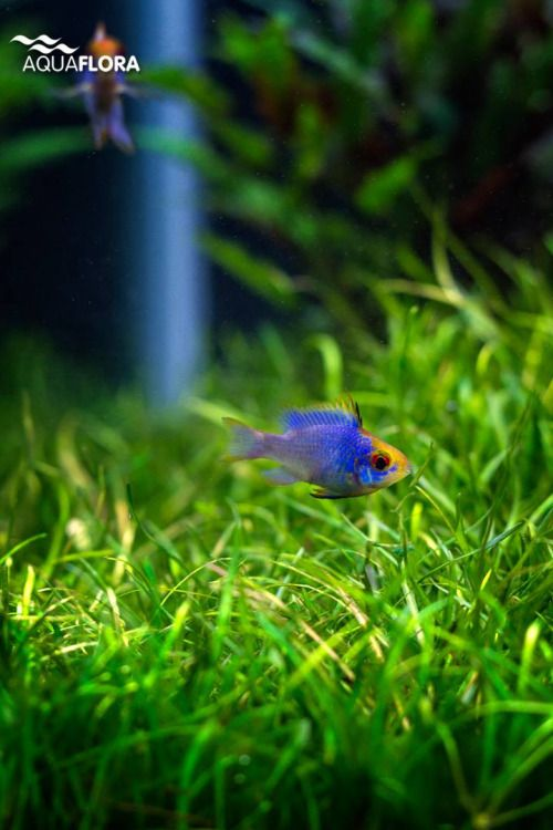 Fish mikrogeophagus ramirezi electric blue this one is for Electric fish tank