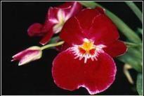 Fiore di Miltonia by Enricoorchidee