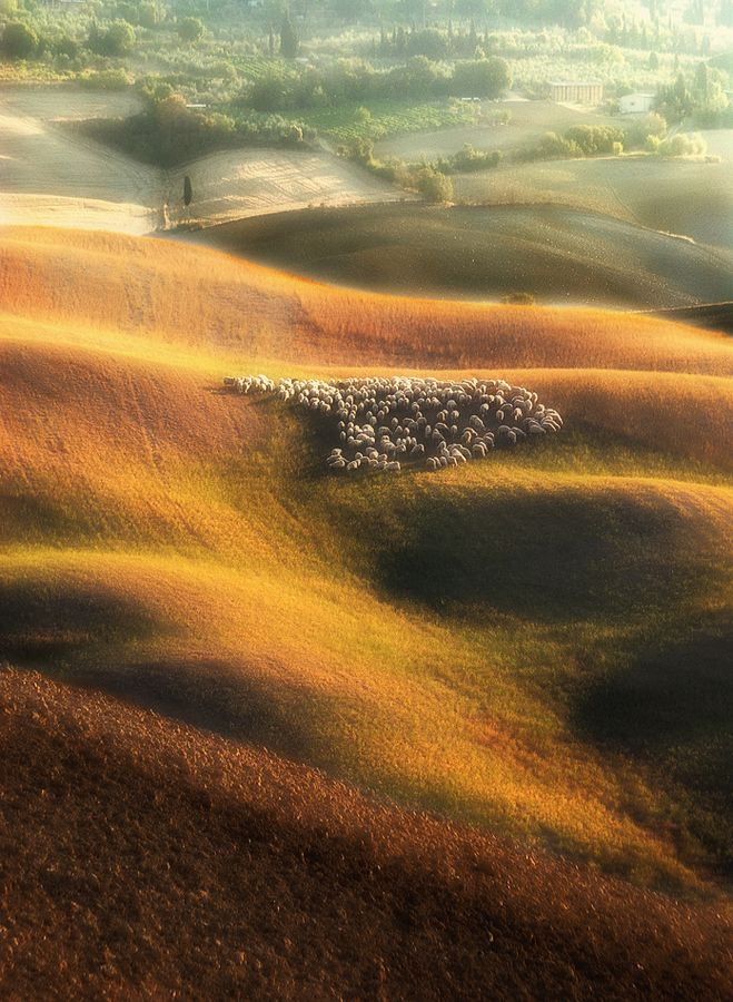 """Sheep on the Tuscan waves"""