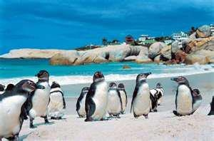 Penguins on Cape Town Beach, South Africa