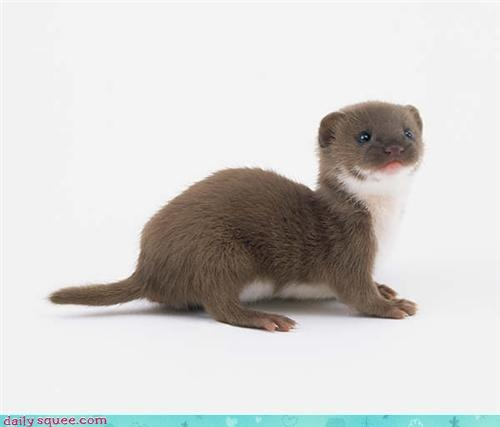 17 Best images about Mustelid Mania Ferrets & Weasels on ... | 500 x 427 jpeg 25kB