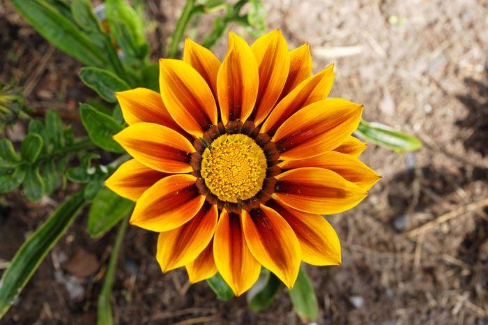 A gazânia é uma planta cuja altura geralmente fica em torno de 10 a 30 cm, embora possa chegar a 50 cm de altura caso chegue ao seu segundo ano de vida. Seus capítulos florais podem ter uma variedade de cores, quase sempre vibrantes, e têm aproximadamente de 5 a 8 cm de diâmetro. Uma peculiaridade desta flor é que seus capítulos florais se fecham durante a noite e em dias nublados e escuros.        As gazânias suportam solos pobres, muito arenosos e até mesmo solos salinos. Apresentam um…