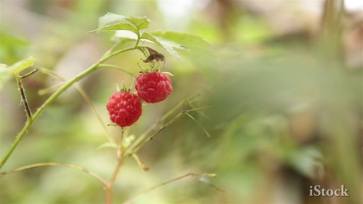 Red raspberries with a black ant.  #istockphoto #istock #raspberries #ants #insects #berry #berries #forest #food #nature