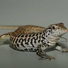 No Sex Needed: All-Female Lizard Species Cross Their Chromosomes to Make Babies These southwestern lizards' asexual reproduction is no longer a secret | Scientific America
