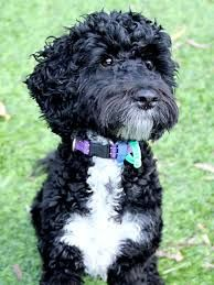 Image result for black cockapoo full grown