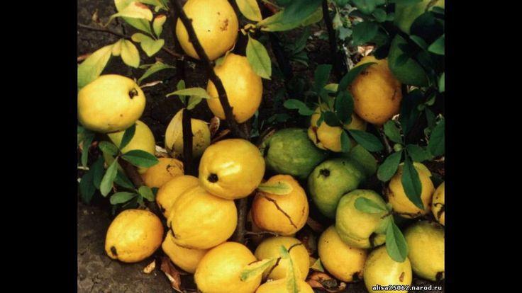Японская айва, Хеномелес или  Северный лимон.