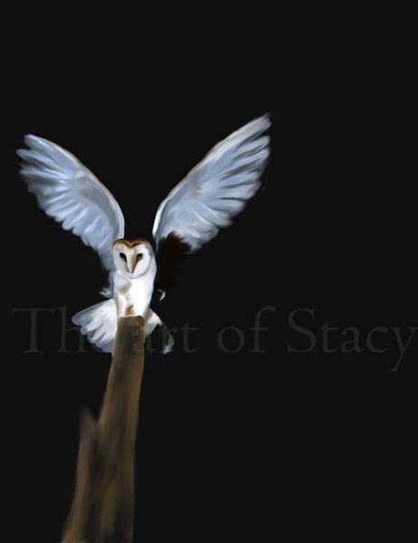 Barn owl landing with wings spread by Stacy Parker on ARTwanted