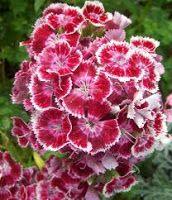 flores y colores :D: Tipos de flores y sus significados. Claveles. Los claveles rosas se relacionan con el recuerdo y el apego, mientras que los blancos con la ingenuidad y la inocencia. En China, es símbolo del matrimonio. Los claveles amarillos, mejor evitarlos el Día de los Enamorados, ya que simbolizan desdén.