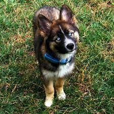 border collie husky mix - Google Search