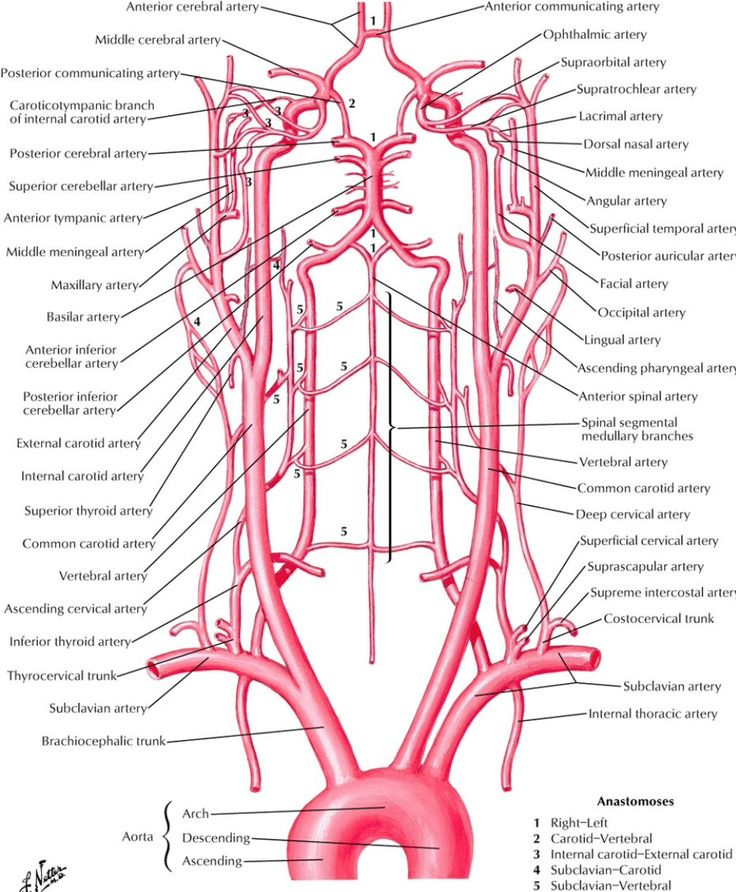 Old Fashioned Netter Neck Anatomy Model - Anatomy And Physiology ...