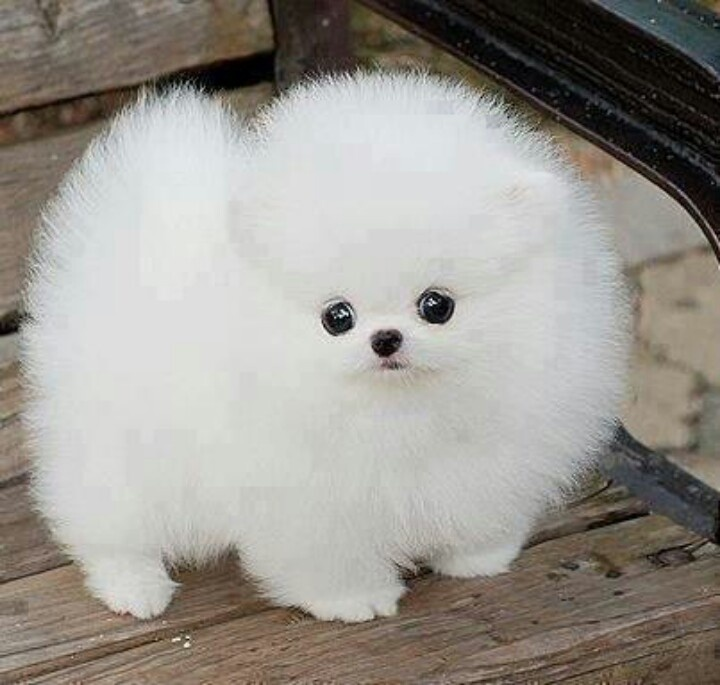 White Puffy Dog Puppy Poos Fluffy Animals Cute Dogs
