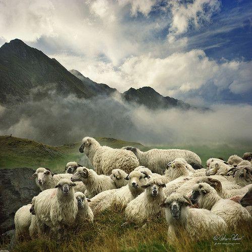 sheep in the Fagaras Mountains, Romania