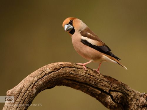 greatanimalseverywhere:  superbnature:  durbec hawfinch by...