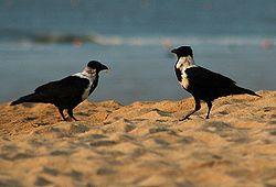 El cuervo de collar (Corvus torquatus),es una especie de ave en la familia Corvidae, que es nativa de China.