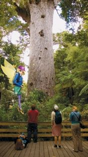 My time in Northland, New Zealand.  A Giant Kauri tree!  #NewZealand #Northland #AirNZ #AirNZFairy #NZ #adventures