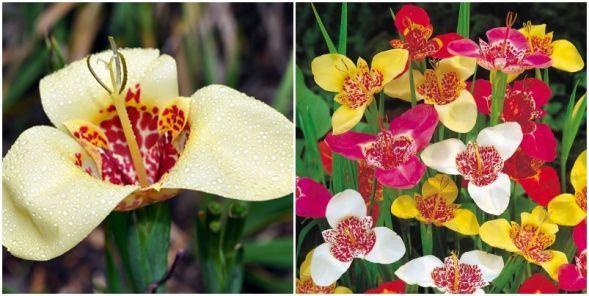 Tigrisvirág: Egyedülálló formájú és ragyogó színű virág, amely nagy méretű virágjaival csábít, és amelyet a virágait díszítő pöttyök tesznek még izgalmasabbá. Egzotikus növény. Egymás után nyílnak az élénk színű, nagy virágok. De figyelem: fagymentes helyen teleltessük.