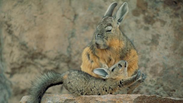 desert, Atacama Desert, viscacha, wildlife