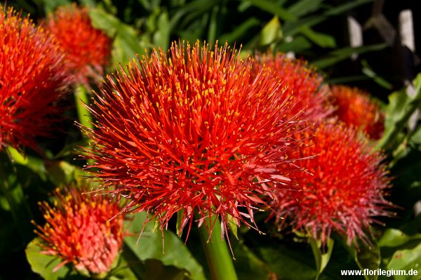 #Blutblume #Haemanthus katherinae http://www.florilegium.de/blog/pflanzen/blumen-im-garten/farbenpraechtige-kuebelpflanze-die-blutblume-haemanthus-katherinae.html