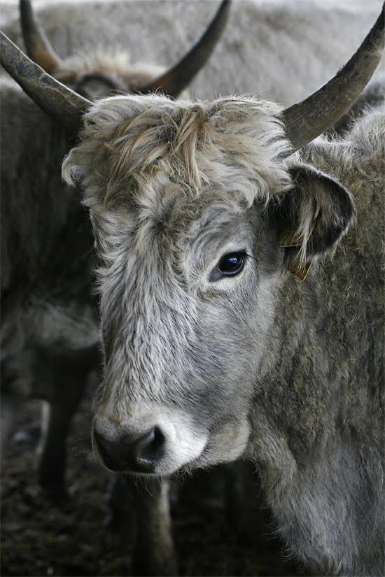 Hungarian grey cattle - Hortobagy, Hungary