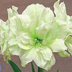 Irish Legend double flowered amaryllis