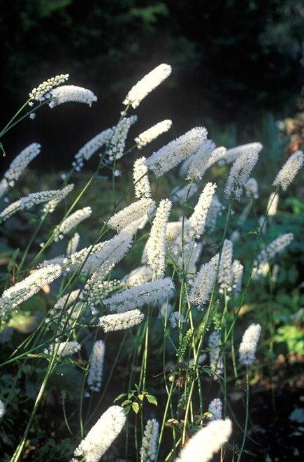 Actaea matsumurae 'White Pearl. nieuwe naam voor de cimicifuga