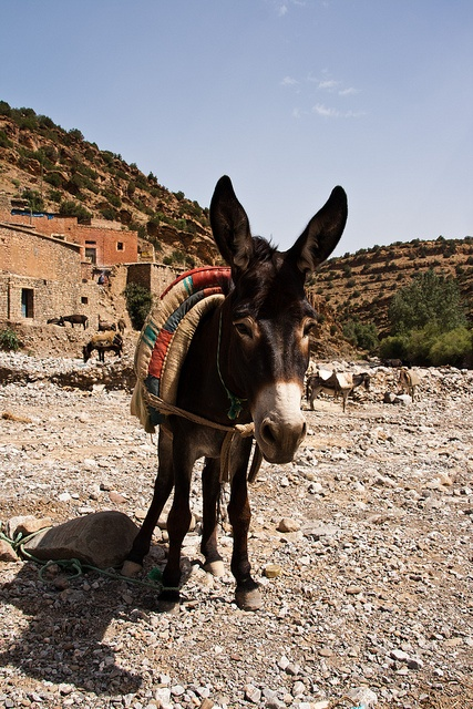 donkey, morocco http://www.whenevermarrakech.com/ourika-valley/ http://www.marrakechrougehostels.com/trips/ http://www.rainbowmarrakech.com/excursions/