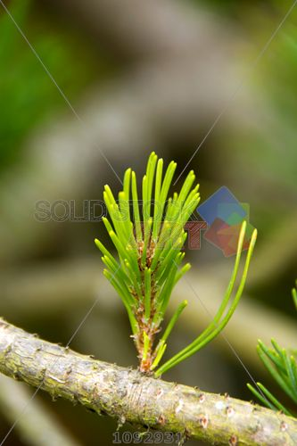 stock photo of green pine leaf sprouting from branch outdoors closeup vertical