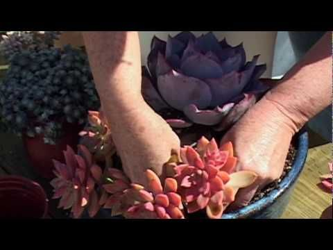 How to Plant a Succulent Container Garden - Video Tutorial - With their colorful leaves, sculptural shapes, and simple care, succulents are beautiful yet forgiving plants for pots.