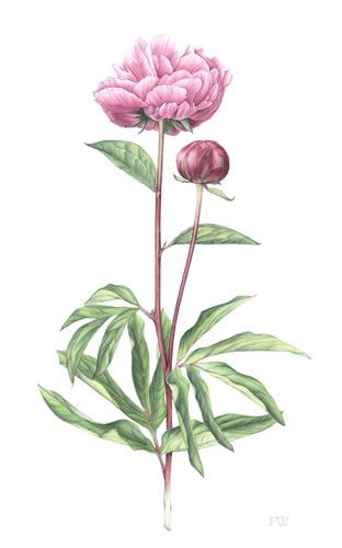 botanical peonie (this reminds me of grams Fran and gram Elsie                                                                                                                                                                                 More