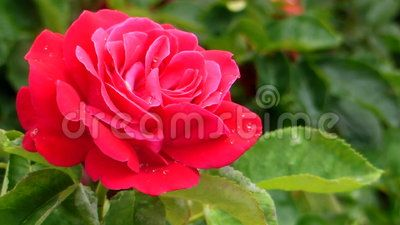 Red Rose - Download From Over 24 Million High Quality Stock Photos, Images, Vectors, Stock Video. Sign up for FREE today. Video: 41962853