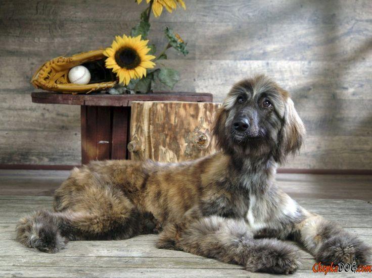 Eine seltene und gefährdete Arten groß Hund Foto