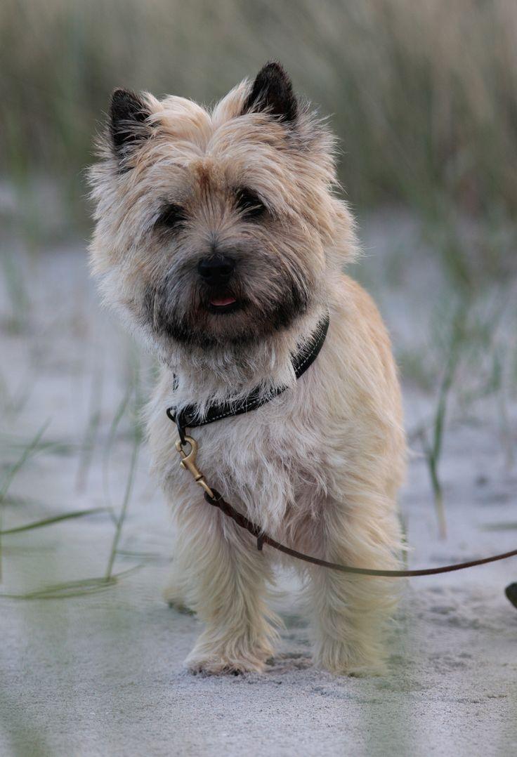 Cairn Terrier on beach2 - Cairn Terrier on beach