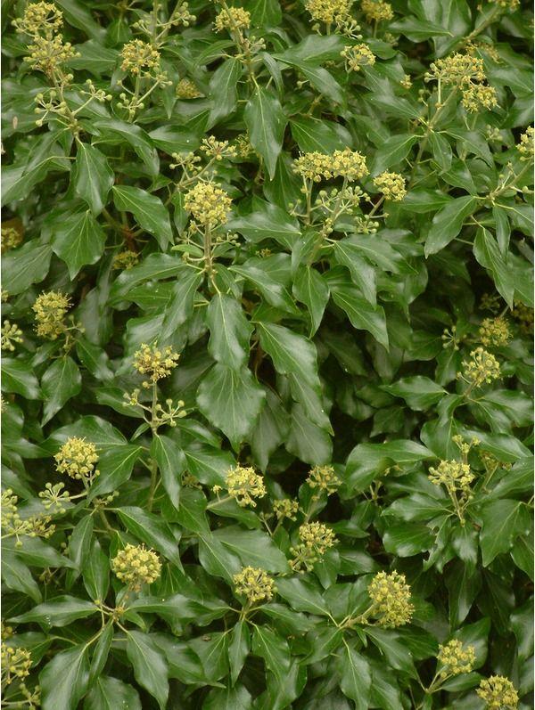 Hedera helix 'Poetica Arborea'