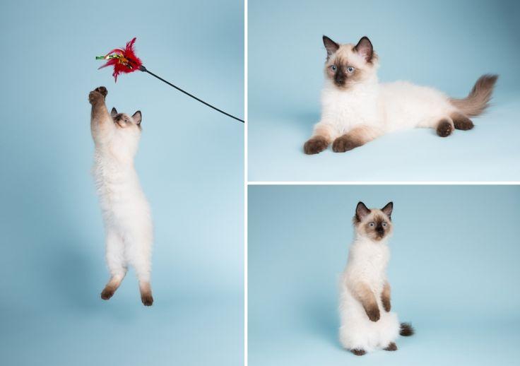 Kattenfotografie Hillegom - Fotoshoot Ragdoll kittens-12