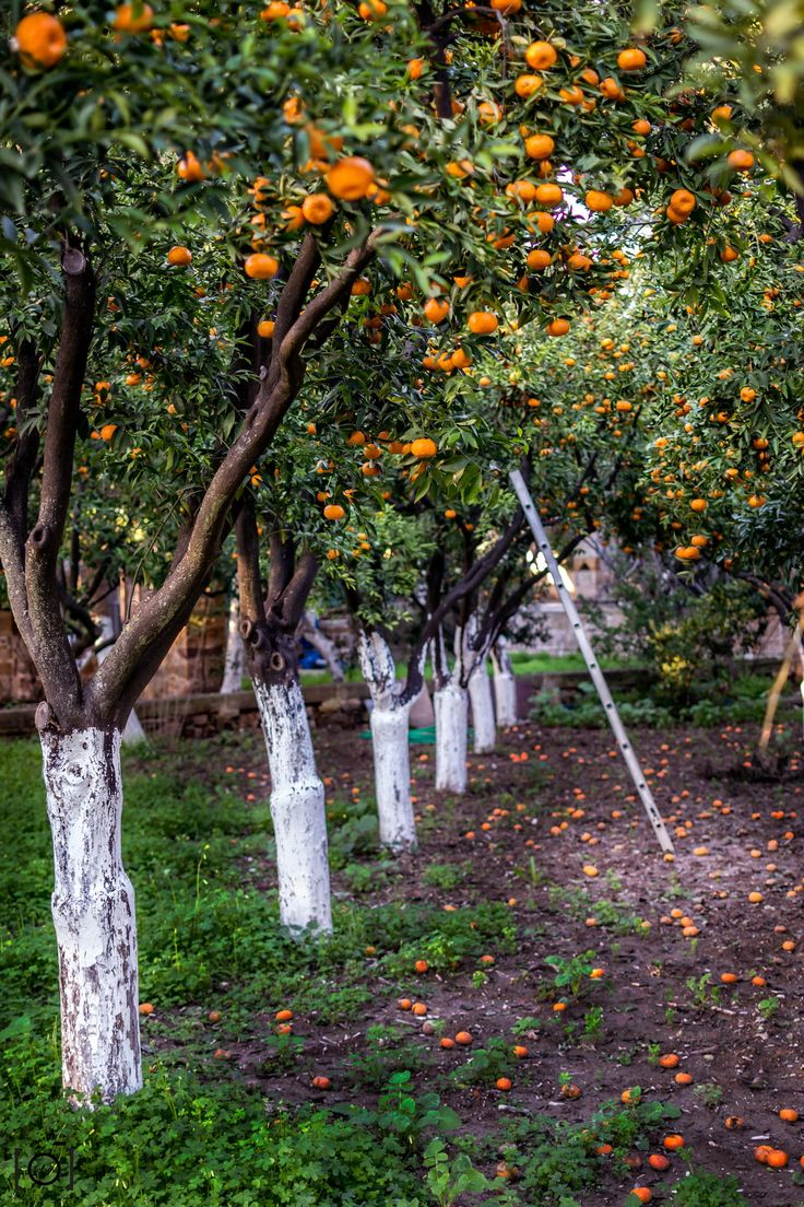 The Orchard - Chios, Greece