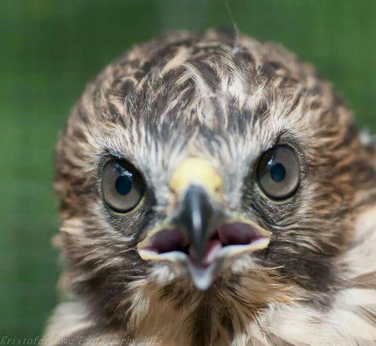 Mejores 82 imágenes de Birds of prey en Pinterest | Aves rapaces ...
